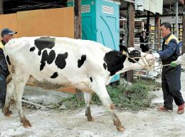 牛の世話を始める哲次さん(右)。「原発事故で飼えなくなった牛たちの分までかわいがる」と語る=13日、福島県葛尾村