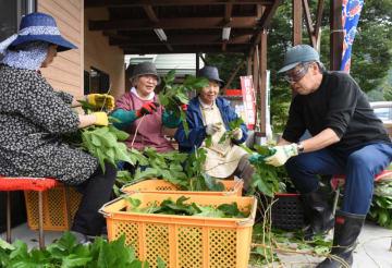 桑葉の収穫作業に励む橋野地区直売組合の組合員ら