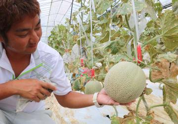 収穫時期を迎えた、たかしま農園のメロン=長崎市高島町
