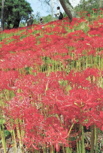 ヒガンバナの赤いじゅうたんが広がる羽黒山公園