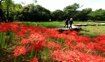 八分咲きとなり、訪れた市民らの目を楽しませているヒガンバナ=17日午後、宮崎市・阿波岐原森林公園市民の森