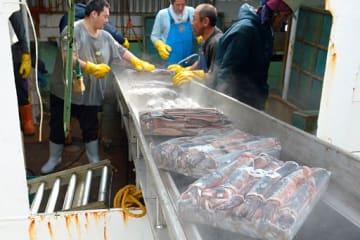 「第1清丸」が漁獲しマイナス50~60度で凍結されていた船凍スルメイカ。約64トンが八戸港に水揚げされた=17日午前8時ごろ、八戸港第3魚市場C棟
