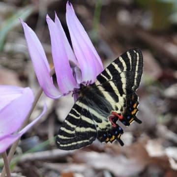 カタクリの花に留まるギフチョウ(2018年4月3日、京都市西京区・小塩山)=西山自然保護ネットワーク提供