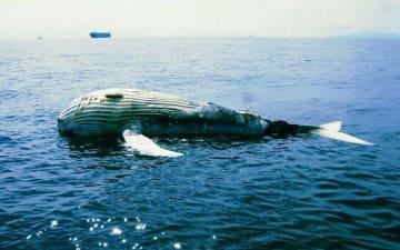 東京湾で漂流しているクジラの死骸=18日、千葉県館山市の洲崎沖(第3管区海上保安本部提供)
