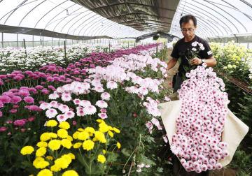 地震で大きな被害を受けた北海道厚真町で、彼岸用の花を収穫する河村敏弘さん=22日午後