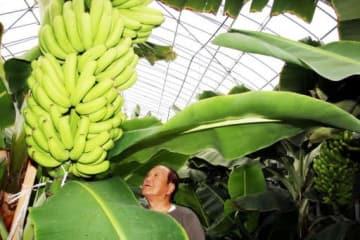ハウス内のバナナの育ち具合を確認する中田さん