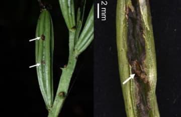 一見すると健全なランミモグリバエの食害を受けた果実(左)。と左図の果実を割ったものの拡大図(右)。食害された果実の中身は空であることがわかる。矢印で示した茶色に見える部分は、ランミモグリバエの蛹。(画像:神戸大学発表資料より)