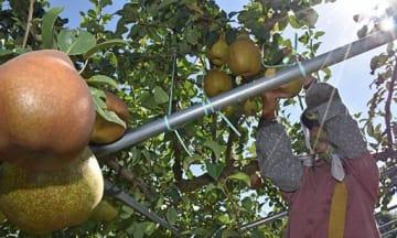 ゼネラル・レクラークの収穫のため、忙しく手を動かす手伝いの女性=23日午前、南部町小向