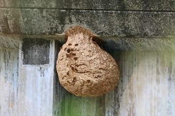 【川中橋の橋げたに作られたキイロスズメバチの巣。直径40~50センチある=和歌山県田辺市秋津川で】