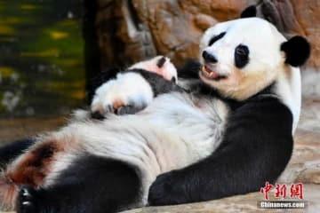 かわいいパンダの赤ちゃん初公開、広州長隆野生動物世界―中国