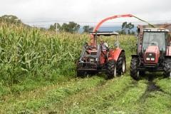 蒜山で飼料用トウモロコシ収穫