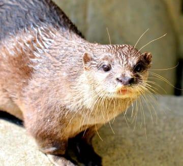 立派なひげがチャームポイントの県立とべ動物園のマサ=19日午後、砥部町上原町