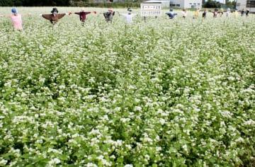 見頃を迎えたソバの花=長生村役場周辺の畑