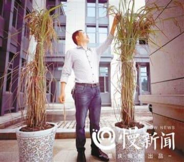 高さ2メートル「巨大稲」の栽培・収穫に成功―農民「稲刈りの時に腰をかがめなくてよいのは初めて」―重慶市