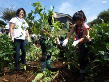 家族で協力して枝豆を収穫する参加者ら=行方市山田の市農業振興センター