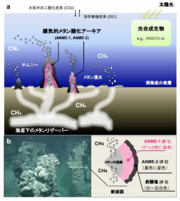 (a) 黒海の深海底に見られる「メタン」の冷湧水の概要、(b) チムニー内部に高密度で棲息する嫌気的メタン酸化アーキア(ANME)。(画像:海洋研究開発機構発表資料より)