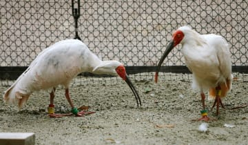 2007年11月、中国からトキ野生復帰ステーションに到着した2羽のトキ=新潟県佐渡市
