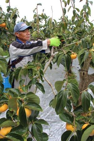 台風に備え、おけさ柿の収穫をする若林直樹さん=29日、佐渡市羽茂本郷