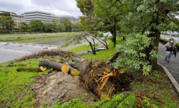 台風21号で倒れた大木が鴨川河川敷に残る中、台風24号の接近に伴い雨が降り続いた京都市内(29日午後3時45分、京都市左京区、荒神橋東詰付近)
