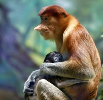広州長隆野生動物世界、絶滅危惧種テングザルの繁殖に成功