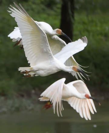 中国陝西省漢中市洋県のトキ国家級自然保護区管理局のトキの群れ=30日(共同)
