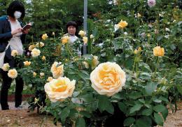 国内外の色とりどりのバラが楽しめるバラフェスタ