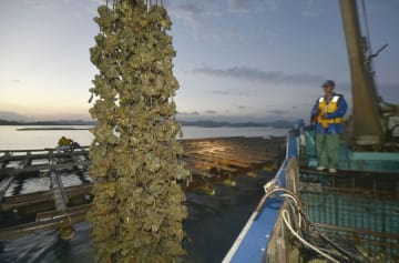 解禁日を迎え、水揚げされる養殖カキ=1日午前、広島県東広島市安芸津町沖