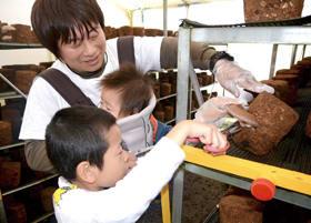 菌床からシイタケを切り取り、収穫する親子