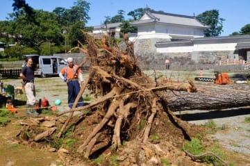 根元から倒れた松の木=1日午前、小田原市城内