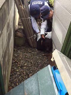 弘前市岩木地区の市街地で捕獲された子グマ=2日午後1時ごろ(弘前市役所提供)