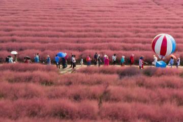 ロマンチックな「ピンクの畑」が観光客を魅了 江蘇省南京