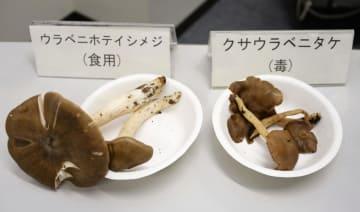 ウラベニホテイシメジと似ている毒キノコ「クサウラベニタケ」=4日午後、消費者庁