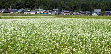 田園の緑に白い花が映えるソバ畑(高島市今津町日置前)