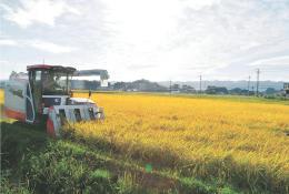 稲刈りが本格化した飯崎地区。南相馬市小高区の今年の水稲作付面積は61ヘクタールで東日本大震災以前の5%ほどだ