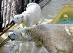 姫路市立動物園のホッキョクグマのユキ(奥)とホクト。約16年共に暮らしてきたが、来春にも別れの時を迎える=姫路市本町