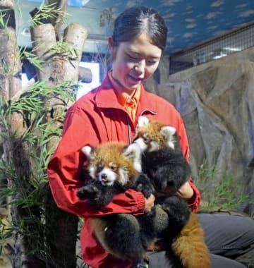 初公開されたレッサーパンダの赤ちゃん2匹=6日午前、那須町大嶋