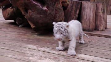 三つ子のホワイトタイガーが一般公開 雲南野生動物園