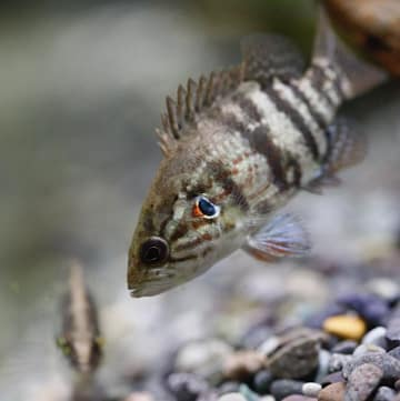 エラの斑点が目のようにも見え、その模様を最大限に使って他の魚を威嚇する姿がオヤが睨むようということでオヤニラミというお話も。まぁ、そんなイカツクないですけどね(笑)。地方では四ツ目(ヨツメ)と呼ばれていたりもします。photo by Yoshie Ichikawa