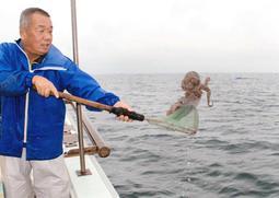 深刻な不漁で22年ぶりに子持ちのマダコを放流する漁師=明石沖