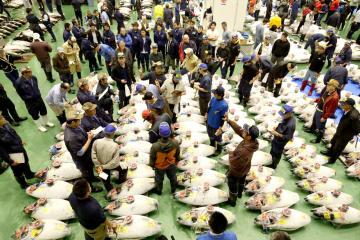 開場した豊洲市場で行われたマグロの競り=11日午前6時2分、東京都江東区