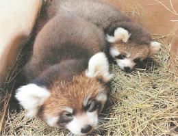 一般公開されるレッサーパンダの双子。手前が雌で、奥が雄(八木山動物公園提供)