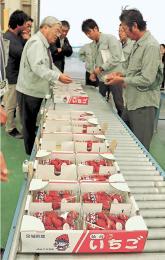 今季初めて出荷する仙台いちごの品質を確かめる農家ら