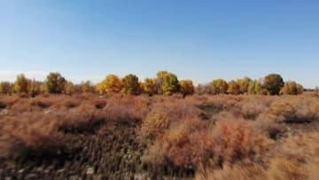 コトカケヤナギの黄葉が見頃 甘粛省酒泉