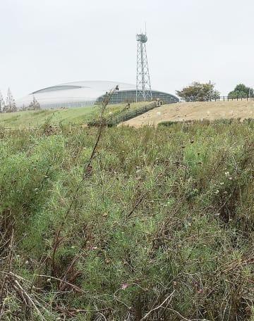 台風被害を受けたコスモス畑(10月6日撮影)