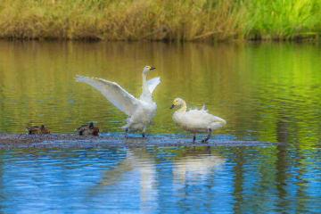 間木堤に今季初飛来したコハクチョウ=13日午前10時半ごろ、おいらせ町