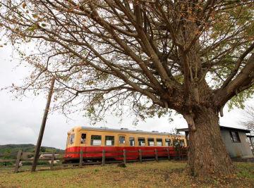 塩害を受けた小湊鉄道上総久保駅脇のイチョウ。片側は緑色の葉を付けるが、もう一方は茶色に変わり、葉もまばらになった=12日、市原市