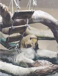 水槽上部に配置された流木に登るアカハナグマ