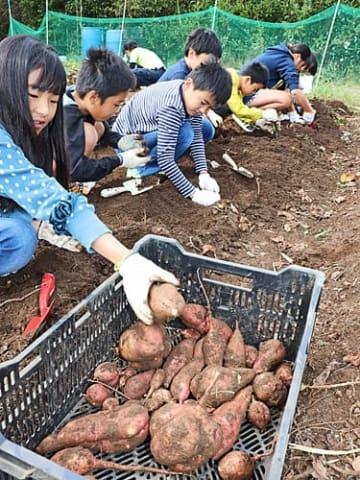 【サツマイモを掘る子どもたち(和歌山県串本町潮岬で)】