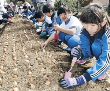 児童がチューリップ球根植える 砺波、来春のフェアに向け