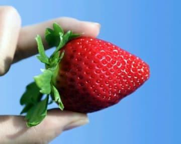 佐賀の新顔「いちごさん」 県、7年かけ品種開発